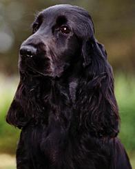 black cocker_spaniel_02